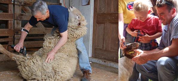 sheep_sheering