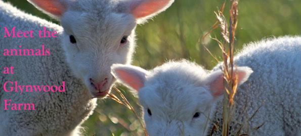 baby_lambs