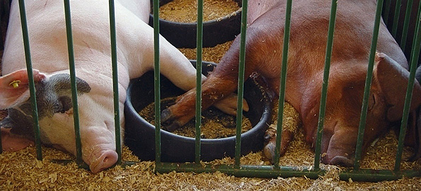 sleeping_pigs1.jpg